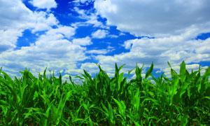 蓝天白云玉米农田风景摄影高清图片