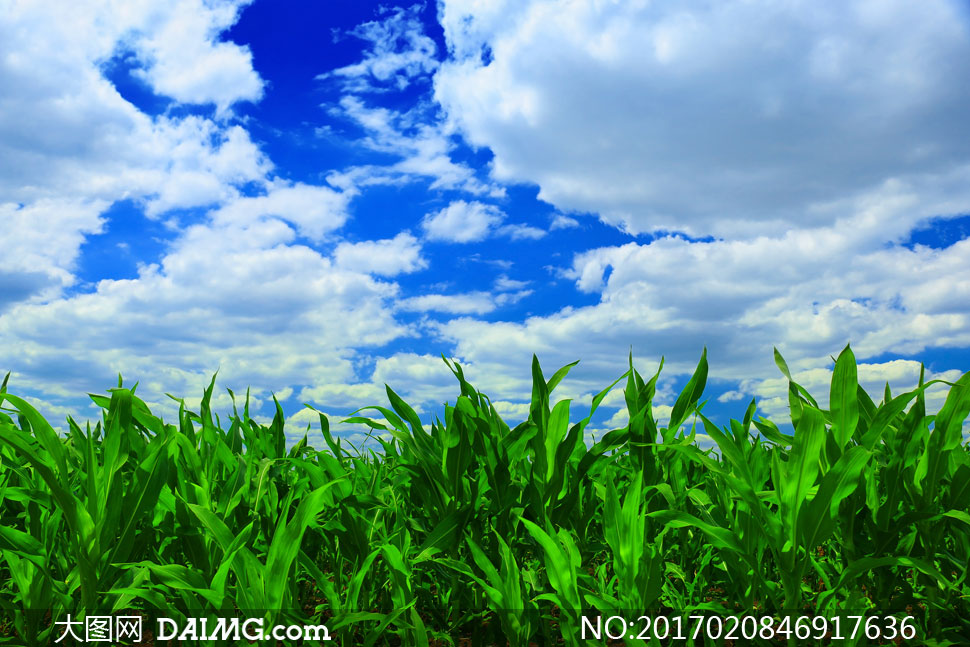大圖首頁 高清圖片 自然風景 > 素材信息          藍天白云青青麥田