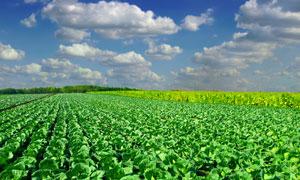 在地里整整齐齐生长的白菜高清图片