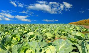 蓝天白云与田地里的卷心菜高清图片