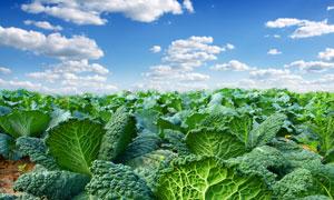朵朵白云下的菜地风光摄影高清图片