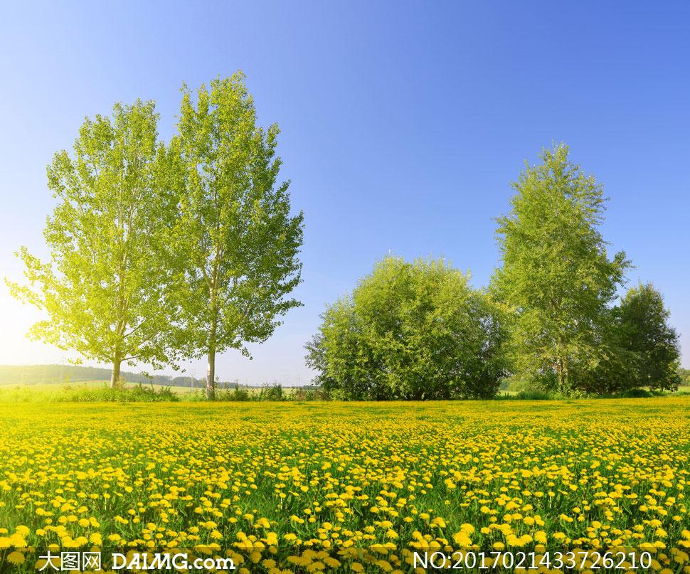 高清图片素材大图摄影自然风景风光大树树木树丛田地蓝天天空蒲公英