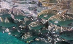 在水下游动的鱼群风光摄影高清图片