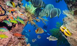穿梭在珊瑚礁中的游鱼摄影高清图片