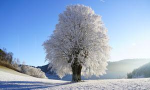 寒冷冬天大树雾凇美景摄影高清图片