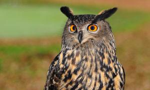 睁大眼睛的猫头鹰特写摄影高清图片