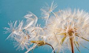 风吹散的毛茸茸蒲公英摄影高清图片