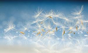 吹散的蒲公英种子特写摄影高清图片