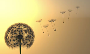 像降落伞一样的蒲公英种子高清图片