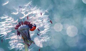 七星瓢虫与蒲公英微距摄影高清图片