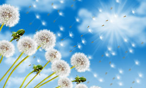 蓝天白云与蒲公英特写摄影高清图片