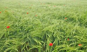 在风中摇曳的农田小麦摄影高清图片