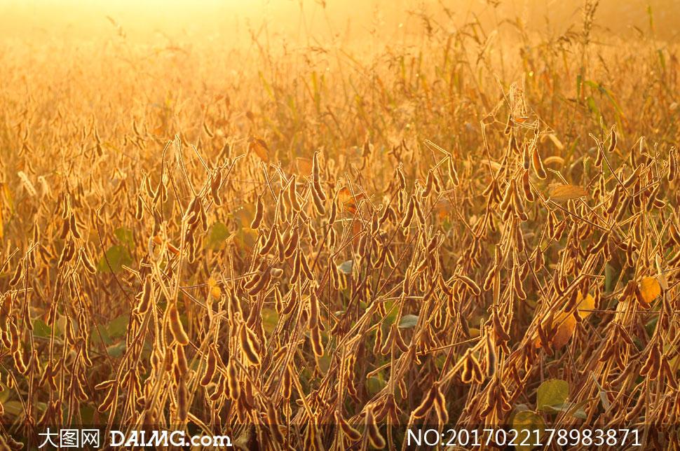 高清图片 自然风景 > 素材信息          迎来早晨第一缕阳光的农田