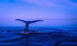 潜入到海水里的座头鲸摄影高清图片