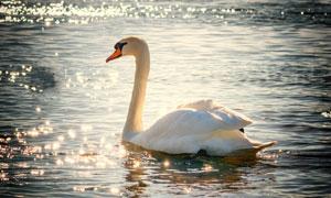 粼粼波光水面上的天鹅摄影高清图片