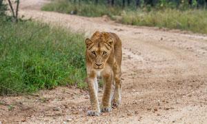 饥肠辘辘在觅食的狮子摄影高清图片