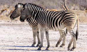膘肥体健黑白条纹斑马摄影高清图片