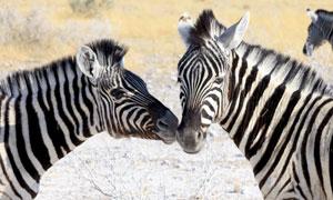 在耳鬓厮磨的两只斑马摄影高清图片