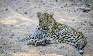 躺在沙子上的豹子特写摄影高清图片