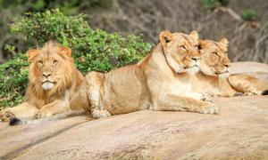 在趴着休息的几个狮子摄影高清图片
