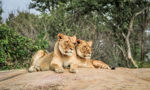树丛前趴着的两只狮子摄影高清图片