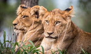 俩表情严肃的狮子特写摄影高清图片
