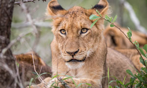 睁着大眼睛的狮子微距摄影高清图片
