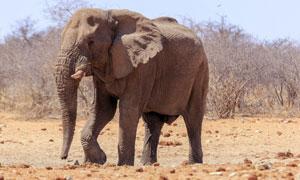 干旱草原上的一只大象摄影高清图片