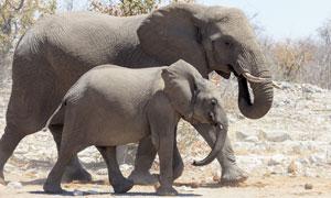 草原上一起走着的大象摄影高清图片