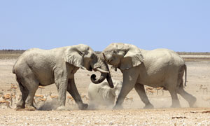 在打架的两只大象特写摄影高清图片