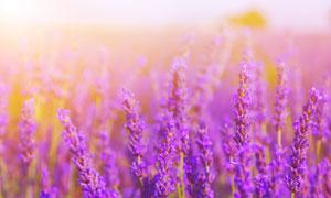 在阳光下的薰衣草特写摄影高清图片