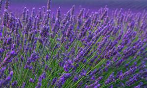 紫色的薰衣草植物近景特写高清图片