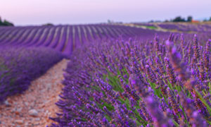 薰衣草种植园自然风光摄影高清图片