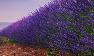 田间的薰衣草植物特写摄影高清图片