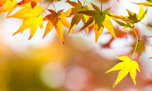 深秋时节树叶近景特写摄影高清图片