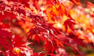 树枝上红色的叶子特写摄影高清图片