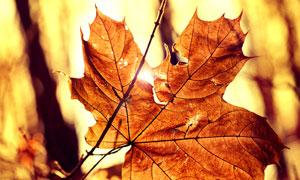 秋天枯黄树叶特写逆光摄影高清图片