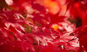 入秋后红色的树叶微距摄影高清图片
