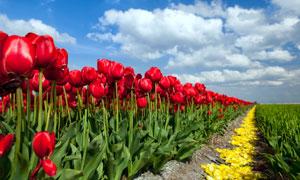 规模化种植红色郁金香花田高清图片