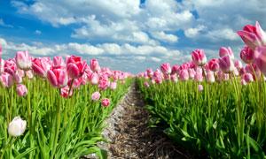 花期盛开的郁金香风光摄影高清图片