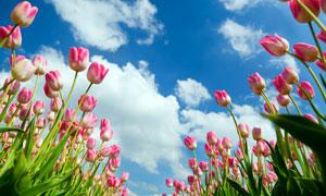 蓝天下娇嫩粉红色的郁金香高清图片