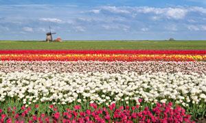 田里多种颜色的郁金香风光高清图片