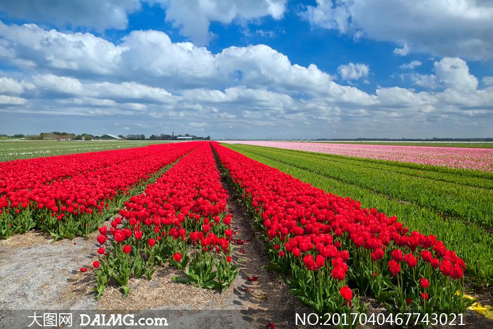 大图高清图片素材摄影自然风景风光天空云层云彩多云蓝天白云郁金香花