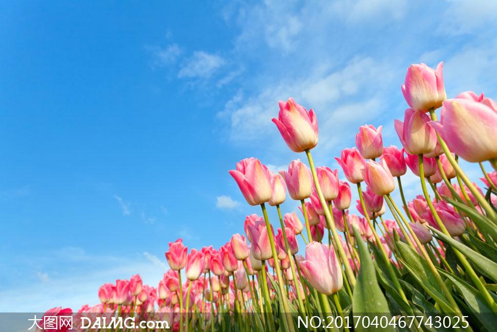 大图高清图片素材摄影自然风景风光天空云层云彩多云蓝天白云郁金香