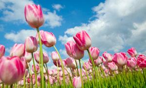 春天准备盛开的郁金香摄影高清图片