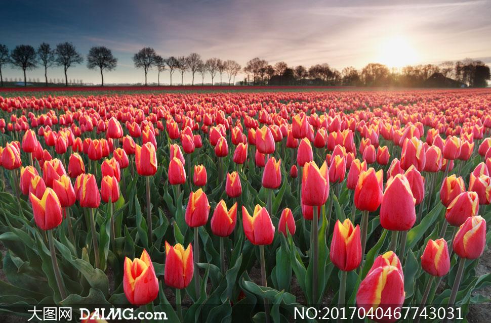 大图首页 高清图片 自然风景 > 素材信息          泾渭分明的郁金香