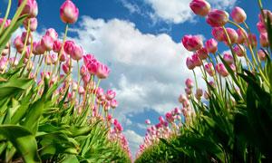 粉红色娇嫩郁金香花卉植物高清图片