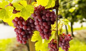葡萄架上的红葡萄特写摄影高清图片