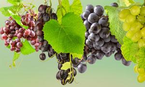藤蔓上的几种葡萄特写摄影高清图片