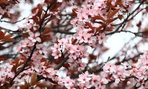 春天里绽放的鲜花特写摄影高清图片